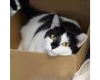 Adopt Sophie a White Domestic Shorthair / Domestic Shorthair / Mixed cat in