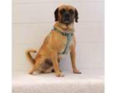 Adopt Trevor a Pug / Beagle / Mixed dog in Gardena, CA (31932068)