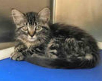 Adopt PENNY LANE a Brown Tabby Domestic Mediumhair / Mixed (medium coat) cat in