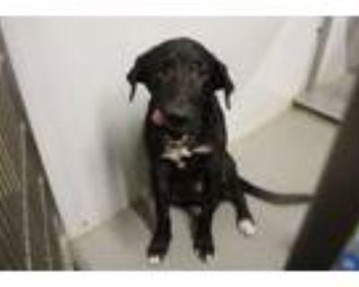 Adopt TROY a Labrador Retriever