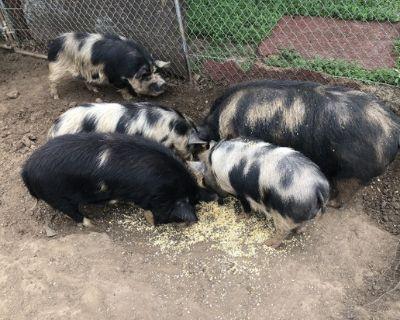 Rare Mini Kune Kune pregnant pigs and males 50 & up