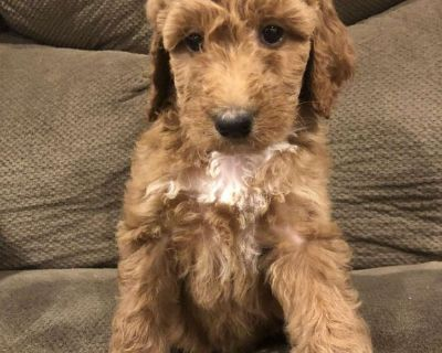 Goldendoodle Puppy Lola