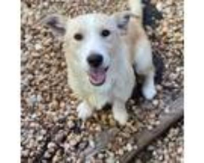 Adopt Dale a White - with Tan, Yellow or Fawn Dachshund / Petit Basset Griffon
