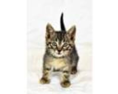Adopt Winslow a Gray or Blue Domestic Shorthair / Domestic Shorthair / Mixed cat