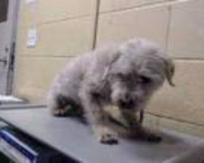 Adopt MICHAEL a White Poodle (Miniature) / Mixed dog in Downey, CA (31655481)