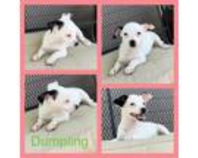 Adopt Dumpling a White - with Black Jack Russell Terrier / Mixed dog in