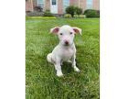 Shenandoah, Pit Bull Terrier For Adoption In Derwood, Maryland