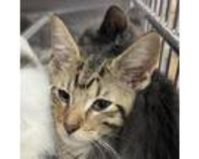Adopt Justice a Domestic Short Hair