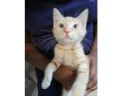 Adopt Mustard a Orange or Red Domestic Shorthair / Domestic Shorthair / Mixed