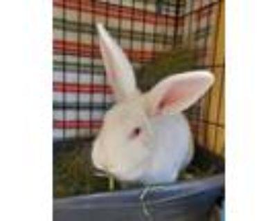 Adopt Felix a New Zealand, Bunny Rabbit