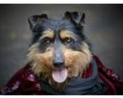 Adopt King Henry VIII a Wirehaired Terrier