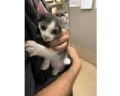 Adopt Egg a White Domestic Shorthair / Domestic Shorthair / Mixed cat in