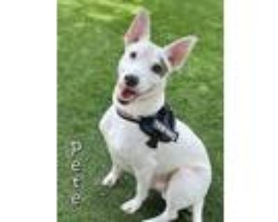 Adopt PETE a White American Pit Bull Terrier / Mixed dog in Fort Myers