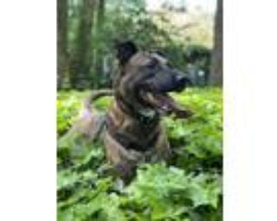 Adopt Louis Pasteur a Brindle American Pit Bull Terrier / Dutch Shepherd dog in