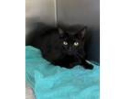 Adopt CA 115 'Monte' a All Black Domestic Shorthair / Mixed (short coat) cat in