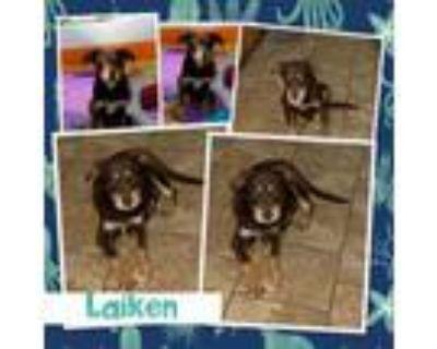 Adopt Laiken a Australian Shepherd
