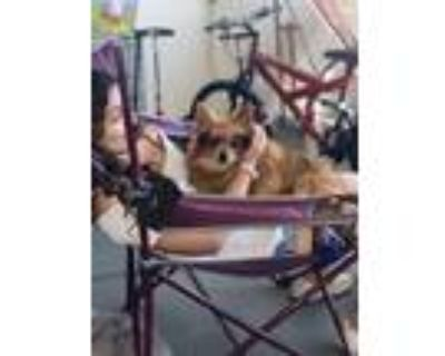 Adopt Chanel a Brown/Chocolate - with Black Pomeranian dog in Chico