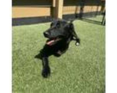 Adopt Abundance a Black Labrador Retriever / Mixed dog in Houston, TX (31949839)