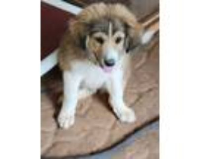 Adopt Jojo a Brown/Chocolate - with Tan Collie / Great Pyrenees / Mixed dog in