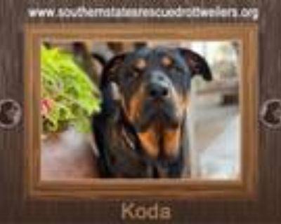 Adopt Koda a Rottweiler