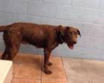 Adopt CECILIA a Labrador Retriever