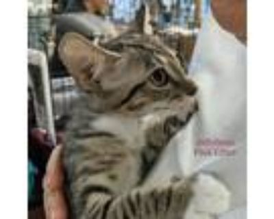 Adopt Jellybean a Gray or Blue (Mostly) Domestic Shorthair / Mixed cat in St.