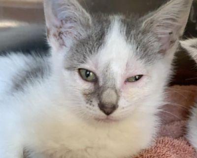 Ginger Gray - Domestic Shorthair - Kitten Female