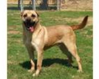 Adopt TANK a Mastiff, Shar-Pei