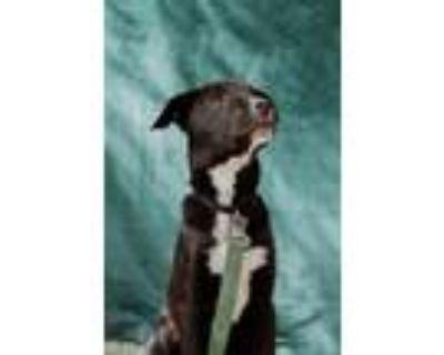 Adopt Polly a Labrador Retriever, Collie