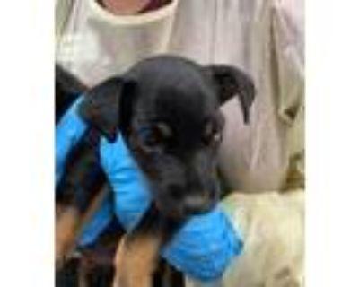 Adopt Dobby a Miniature Pinscher / Terrier (Unknown Type