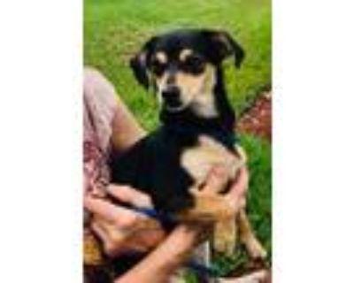 Adopt Peanut a Terrier
