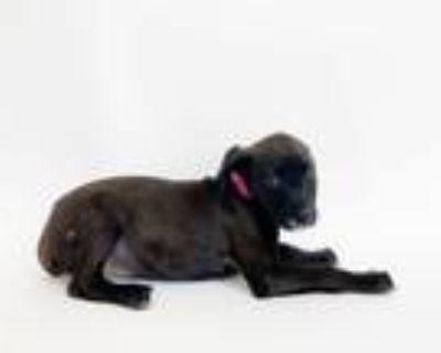 Adopt TERRA a Labrador Retriever, Mixed Breed