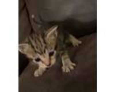 Adopt KITTENS NEED FOSTER! a Domestic Short Hair, Tabby