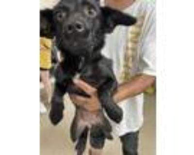 Adopt 48047394 a Black Labrador Retriever / Mixed dog in Fort Worth