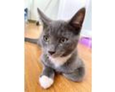 Adopt Lillybell a Domestic Short Hair