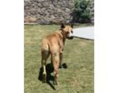 Adopt Lucky a Tricolor (Tan/Brown & Black & White) American Pit Bull Terrier /