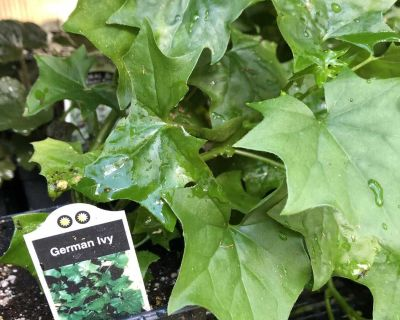 GERMAN IVY annual or house plant