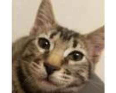 Dill, Domestic Shorthair For Adoption In Pleasanton, California