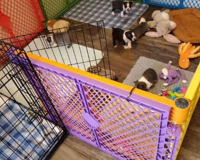 5.5 month old kitten Boston Terrier