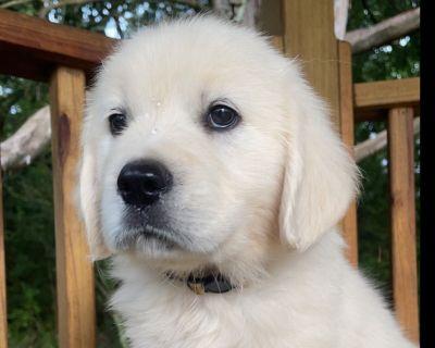 English (Cream) Golden Retriever Puppies