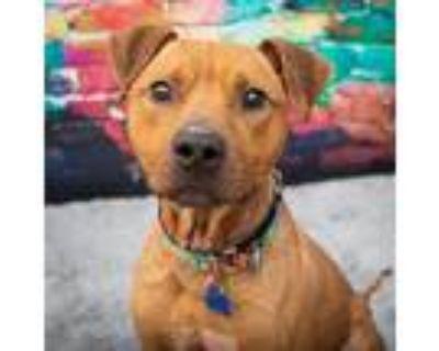 Bones, Pit Bull Terrier For Adoption In Mission, Kansas
