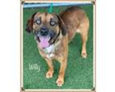 Adopt WILLY a Tricolor (Tan/Brown & Black & White) Hound (Unknown Type) / Mixed