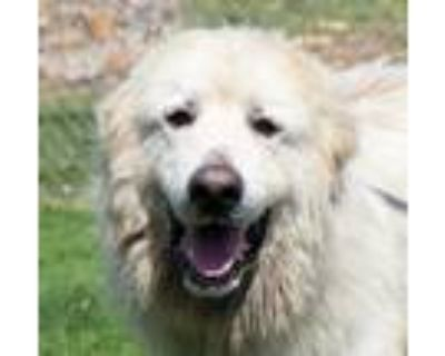 Adopt Frank (A023633) a Great Pyrenees