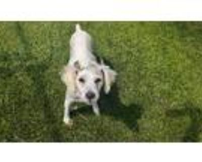 Adopt DOLLY a White Terrier (Unknown Type, Medium) / Mixed dog in Downey