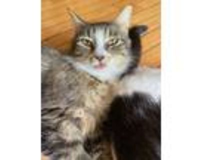 Adopt Mia a Brown Tabby American Curl / Mixed cat in Smyrna, TN (31614995)