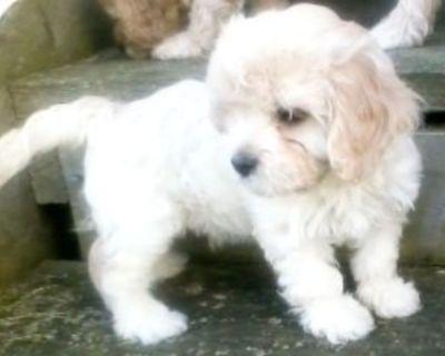 Adorable Bichon Poo Pups