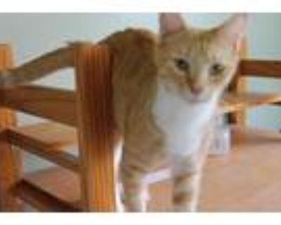 Adopt Aphrodite a Orange or Red (Mostly) Domestic Shorthair / Mixed (short coat)