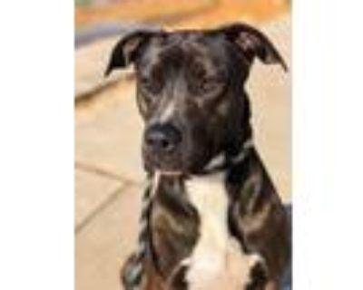 Adopt Aspen a Black - with White Boxer / Labrador Retriever dog in Littleton