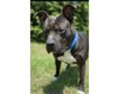 Adopt Pickle a Mixed Breed (Large) / American Pit Bull Terrier / Mixed dog in