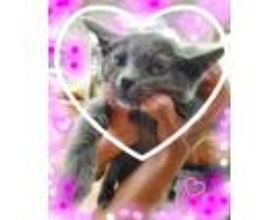 Adopt Russian Blue Princess a Gray or Blue Russian Blue (medium coat) cat in